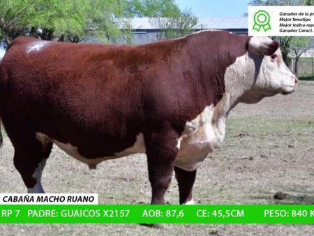 ORDEN 5 RP7 - CABAÑA MACHO RUANO